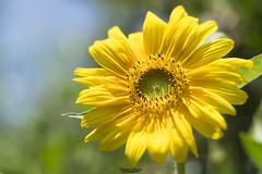 Girasole (Francesca Murroni ┃Wildlife Photographer) Tags: girasole flora fiori giardino natura cannigonis sardegna italia it closeup macro bokeh sunflower flowers garden
