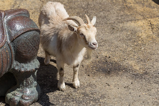 Goat at Moscow zoo