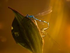 Roue d'accouplement (GillesBretin) Tags: animaux format lieux 43 france insectes opaysage