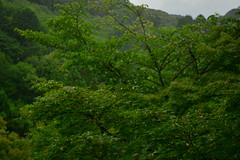 DSC_0030 (sxcxxhx) Tags: japan osaka kyoto hydrangea flower trip voyage 日本 大阪 京都 旅行