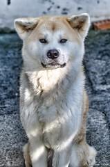 Maya (Akita) 35mm (Guiiom) Tags: maya akitainu akita japanese dog chien japon