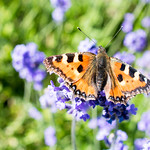 Butterfly - Line Symmetry thumbnail
