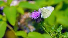 Cabbage White (Pieris rapae), Miller Creek - Duluth MN USA, 08/15/15 (TonyM1956) Tags: elements macrounlimited sonyalphadslr tonymitchell cabbagewhite pierisrapae millercreek duluth bokeh sonyphotographing