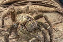 Baboon tarantula (cf. Pterinochilus murinus) - DSC_3092 (nickybay) Tags: bugshot mozambique gorongosa macro africa baboon tarantula spider theraphosidae pterinochilus murinus cctv wideangle