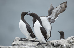 Guillemots (Alastair Marsh Photography) Tags: guillemot guillemots bird birds sea seabird seabirds ocean rock rocks island islands farneislands farne northumberland water waterbird feathers feather animal animals animalsintheirlandscape fighting fight mate mating britishwildlife britishanimals britishanimal britishbirds britishbird