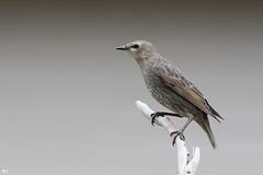 ''Jeune goinfre!'' Étourneau sansonnet-european starling (pascaleforest) Tags: oiseau bird animal nikon nature passion wild wildlife faune québec canada