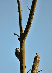 Downy Woodpecker (Chad Horwedel) Tags: downywoodpecker male bird tree dupagerivergreenway bolingbrook illinois