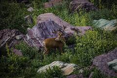 Mule Deer Buck (GlacierNPS) Tags: animal antler buck conservation deer department doi glacier interior mammal meadow montana mt mule nationalpark nature nps outdoors park wildlife