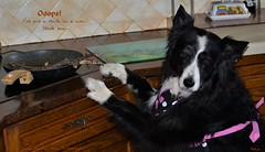 I just wanted to see what happens (ASHA THE BORDER COLLiE) Tags: funny picture dog border collie kitchen stick non pan ashathestarofcountydown connie kells county down photography
