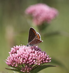 (bugman11) Tags: ariciaagestis bug bugs bruinblauwtje fauna canon 100mm28lmacro butterfly butterflies bokeh flora flower flowers nature nederland thenetherlands bloemendaal macro animal animals insect insects 1001nightsmagiccity 1001nights