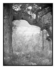 Sierra Madre Road Oak (Summicron20/20) Tags: agfa ansco universal 8x10 camera sweet wallach rapid portrait petzval 14 inch f43 ilford fp4 rodinal 125