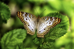 Butterfly in the Garden (Charles Patrick Ewing) Tags: butterflies butterfly animal animals nature insect natural macro flower flowers leaf leaves landscape landscapes colorful beauthful wonderful new all everything art artistic outdoor winged wings white peacock green