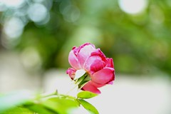 Floral close-up (hasham2) Tags: macro flower rose closeup sony a7r2 minolta macromode