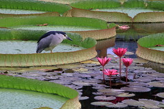 lotus festival (沐均青) Tags: taiwan taipei lotus festival colorful summer sky flower nature red blue clouds water landscape park bird lake green