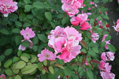 a little pink (wolf8_us) Tags: travels washingtonstate summer flowers olympia