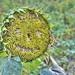 Friendly Sunflower