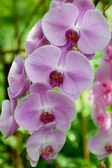Violet orchid (Robert-Ang) Tags: orchid plant flowers nature garden singapore