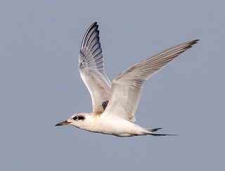 Juvenile Forsters Tern Fishing