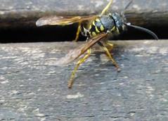 Wespe ohne Unterleib1 (Fluchtpunkte im Blickwinkel) Tags: wespe