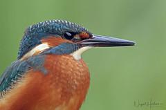 Kingfisher (Nigel Hodson) Tags: canon 1dx 600mmf4ii 2x kingfisher kingfishers wildlife wildlifephotography nature naturephotography birds birdphotography bird portrait wales