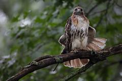5DSR1558.jpg (rdelonga) Tags: buteojamaicensis redtailedhawk