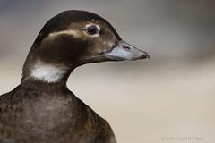 Portrait of a Long-tailed Duck (hen - breeding) (danielusescanon) Tags: longtailedduck hen female breeding plumage captive clangulahyemalis anseriformes anatidae alaskasealifecenter seward alaska