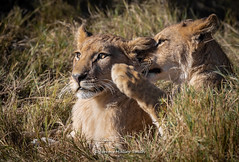 Let me tell you, it's weekend. Have a great time! (Jmalls) Tags: africa bookingsbeingtakenfornextyear botswana camping canon1dx2cameracameracamera canonef100400mmmk2isusmllens chobenationalpark cruising ef14extendermk2 excellentfood expertphotographicguide expertwildlifeguide floraandfauna houseboat july2018 kasane luxurioustents mobilecamp naturalhistory okavangodelta safari southernhemisphere welllookedafter wildlife winter workshops wwwjeremymalleysmithphotographycouk ©jmalleysmith ©jeremymalleysmith