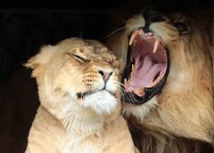 african lion Caesar and Kianga artis JN6A1688 (j.a.kok) Tags: leeuw lion africa afrika afrikaanseleeuw africanlion pantheraleoleo animal artis cat kat mammal zoogdier dier predator caesar kianga