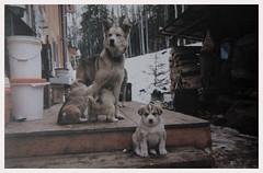 Toaster and Her Pups (Robert Drozda) Tags: fairbanks alaska sleddog alaskahusky toaster pup salty frodo cholie ruby film 2001 print kodakdisposablecamera singleusecamera beingthere drozda littledoglaughedstories