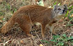 yellow mongoose Blijdorp JN6A9269 (j.a.kok) Tags: mangoest mongoose yellowmongoose vosmangoest mammal animal blijdorp zoogdier dier predator