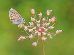 ramillete con regalo (Santi BF) Tags: mariposa papallona butterfly insecto insecte insect bicho bug macro closeup aproximación
