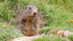Alpenmarmot (Wim Boon (wimzilver)) Tags: wimboon canon100mmf28lismacro canoneos7d zwitserland marmotamarmota marmot alpenmarmot wallis zoogdier natuur nature