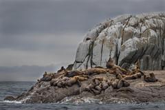 Steller's Sea Lions (Turk Images) Tags: britishcolumbia earedseals eumetopiasjubatus princerupert stellerssealion westcoast mammals otariidae colony island marine