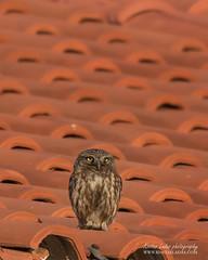 Athene noctua_IMG_9466web (kostas ladas photography) Tags: otus wildlife wildbirds nature birding photobirding photography greece bestpic
