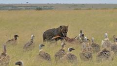 A very rare Savanna bear (John Kok) Tags: kenya masaimara enaidura july2018 spottedhyena crocutacrocuta nikkor20050056evr2