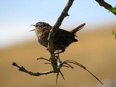 Grassington 22.7.2018 (14) (bebopalieuday) Tags: yorkshiredales upperwharfedale grassington wren branch twig northyorkshire