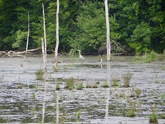 Great Blue Heron (ironmike9) Tags: wetlands swamp southonondaga onondagany heron bird greatblueheron