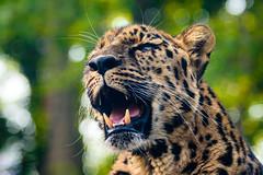 Grrrrr (Eric Tischler) Tags: cleveland zoo asian highlands leopard
