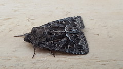 20180814_070055 (Paul Young1) Tags: darkarches apameamonoglypha noctuidae 1 one single moth moths animal animals insect insects insecta arthropod arthropods arthropoda lepidoptera nature wild wildlife uk british britain perched perching close study imago unitedkingdom closeup top topview closedwings head