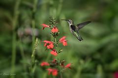 Let Me See (dngovoni) Tags: flower meadowlark virginia action background bird flight hummingbird rubythroated summer sunrise wildlife vienna unitedstates us