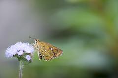 _ESJ0943 Isoteinon lamprospilus formosanus (papilioshih) Tags: 南投縣 仁愛鄉 夢谷瀑布 南豐村