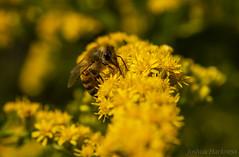 (Joshua Harkness) Tags: macro polinator bee flower closeup insect bug
