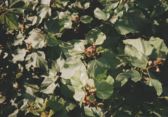 011.jpg (Tai Moura) Tags: kodak film filme 35mm proimage 100 trip100r olympus green verde urucum olympustrip100r lomo lomography lomografia