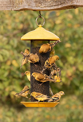Goldfinch Mob II (dennis_plank_nature_photography) Tags: americangoldfinch avianphotography thurstoncounty birdphotography naturephotography juveniles wa avian birds blind copse drip feeder home littlerock nature pools