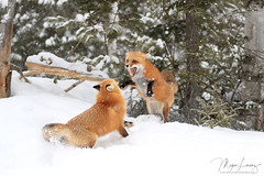 Furious Fox (Megan Lorenz) Tags: snowing snow winter redfox fox pair two animal mammal nature wildlife wild wildanimals algonquinprovincialpark ontario canada mlorenz meganlorenz