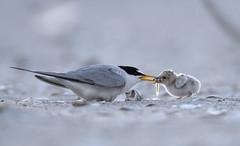 Least Tern (suraj.ramamurthy) Tags: nikkor500mm nikond500 longislandbeaches