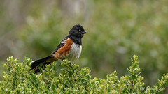 Spotted Towhee (Bob Gunderson) Tags: birds california marincounty northbay northerncalifornia pipilomaculatus spottedtowhee tennesseevalley towhees