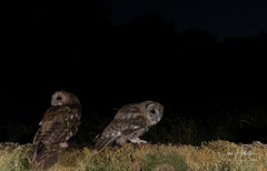 Tawny owl and Owlet (Ian howells wildlife photography) Tags: ianhowells ianhowellswildlifephotography nature naturephotography nationalgeographic unitedkingdom night flash wildlife wildlifephotography wales wild wildbirds tawnyowl tawny owl owlet