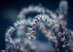 *** (ursulamller900) Tags: pentacon28100 extensiontube 12mm makroring phacelia bienenfreund seeds samenstand bokeh blue mygarden