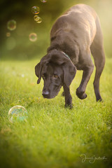 Seamus Chasing Bubbles (capers66) Tags: dog doglover labradorretriever lab canon5dmarkiv 70200mm pet bubbles summer